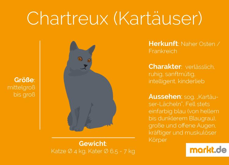 Grafik Rasseportrait Kartäuser Katzen