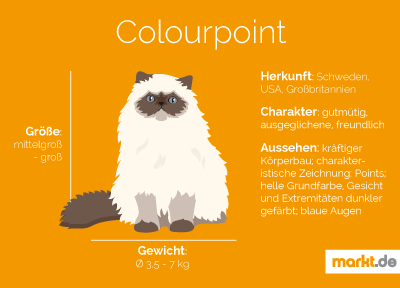 Grafik Rasseportrait Colourpoint Katze
