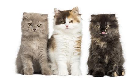 Bild Scottish Fold Kitten