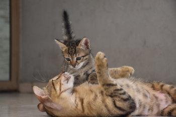 Säugende Katze ernährt Kitten