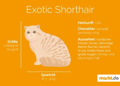 Grafik Exotic Shorthair