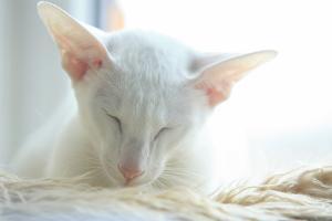 Foreign White Katze