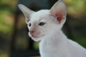 Bild Foreign White Kitten Kaufvertrag