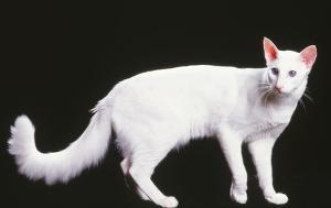 schneeweiße Javanese-Katze