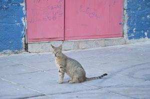 Bild Kanaani Katze auf Straße