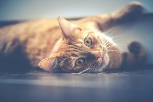 Bild Katze rot geringelt