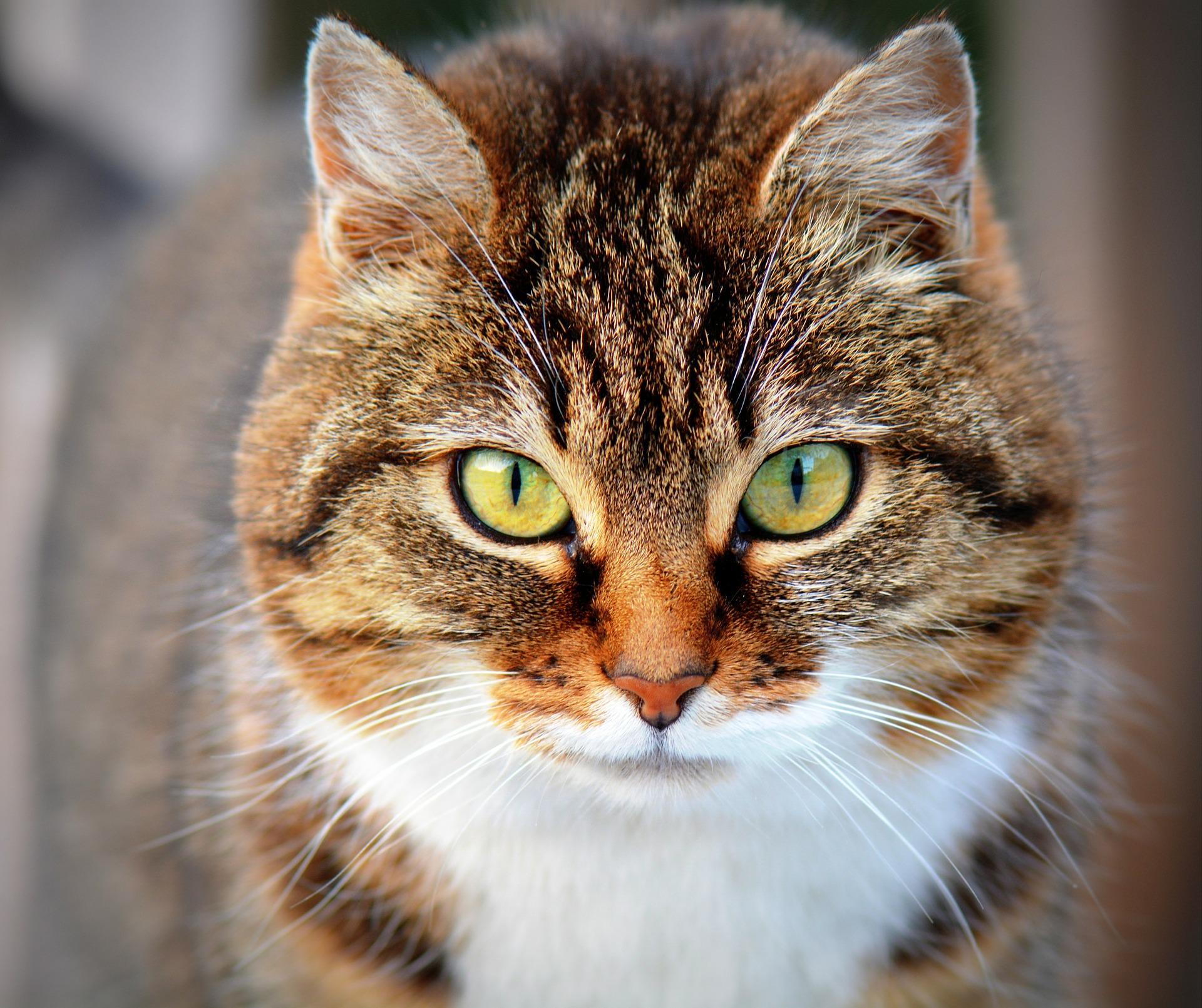 Bild von gähnender Katze