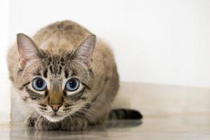 Ojos Azules Katze