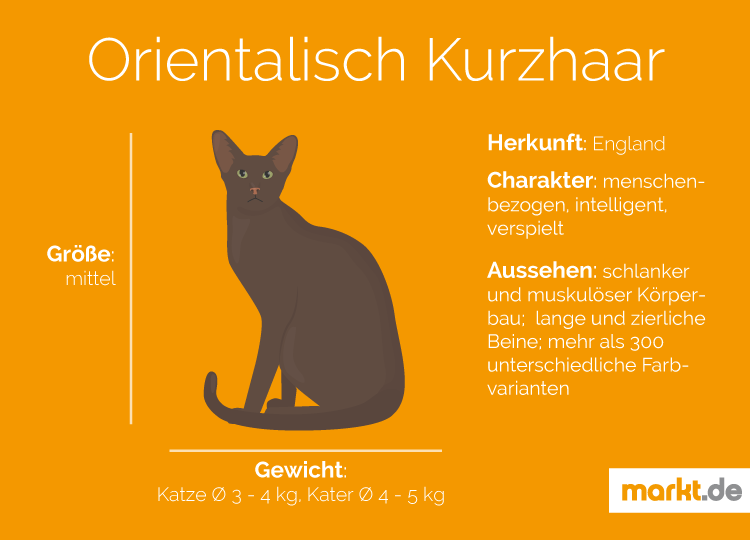 Orientalisch Kurzhaar Rasseportrait   markt.de