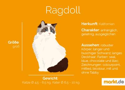 Grafik Ragdoll Portrait