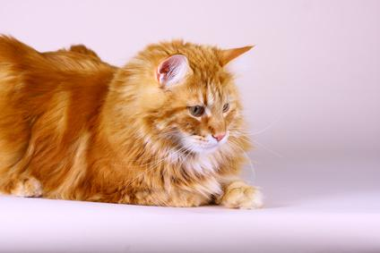 Liegende MaineCoon