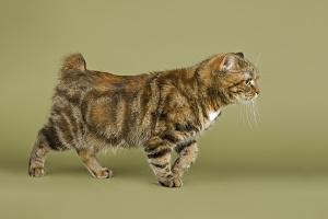 Bild Manx Katze