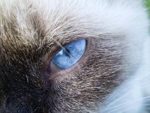 Mekong Bobtail Augenfarbe