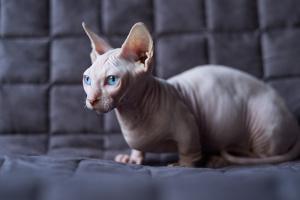 Minskin Katze