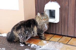 Norwegische Waldkatze vor Katzenklappe im Winter