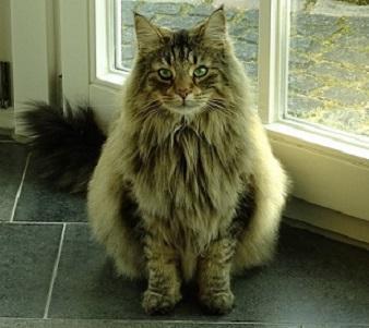 Norwegische Waldkatze Tabby