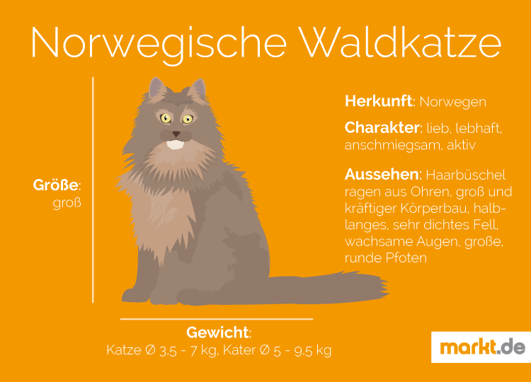 Norwegische Waldkatze Charakter Größe Aussehen Marktde