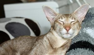 Orientalisch Kurzhaar schlafend