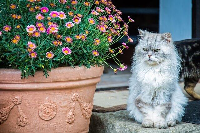 Perserkatze sitzt neben Blumentopf