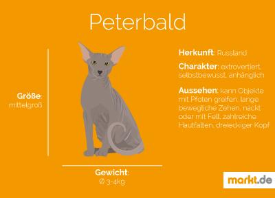 Grafik Rasseportrait Peterbald
