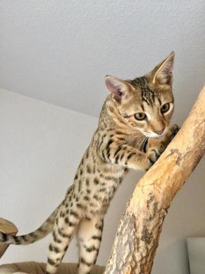Savannah Kitten (F3)