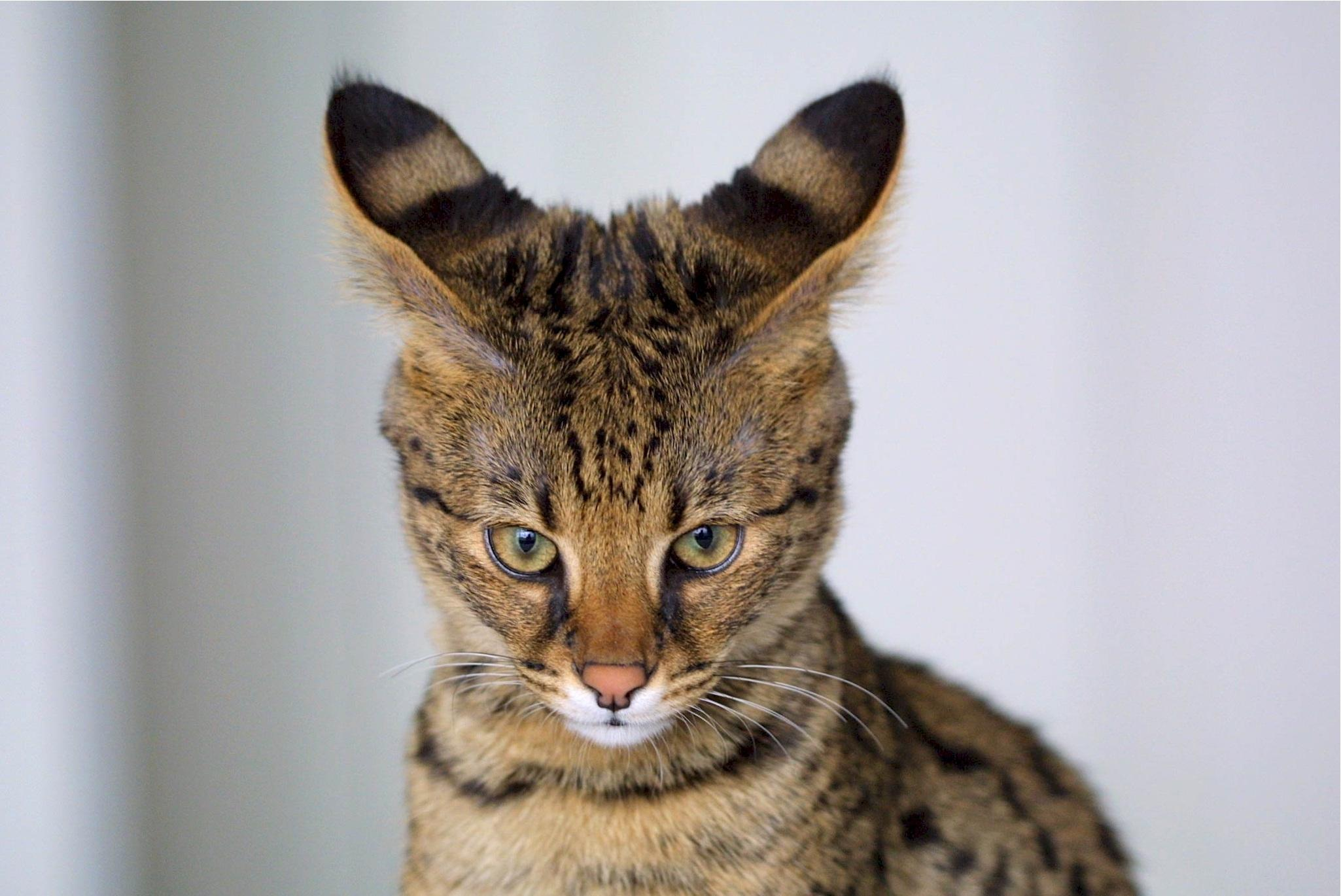 Savannah Katze verspielt