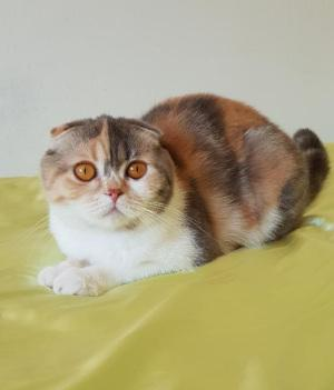 Scottish Fold Chocolate Tortie White