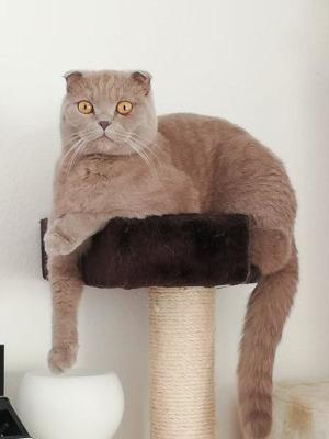 Scottish Fold Kater