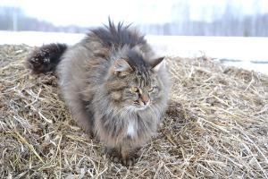 Sibirische Katze Freigang