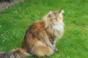 Sibirische Waldkatze Zucht