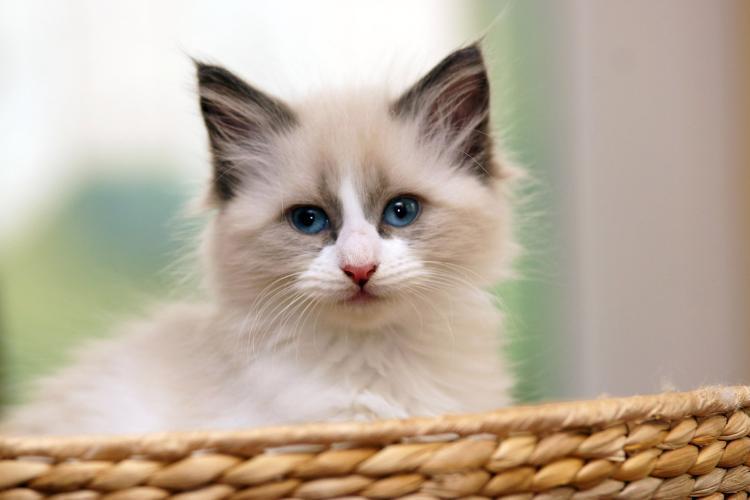 Bild Sibirische Katze Fell
