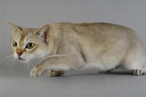 Bild Singapura Katze