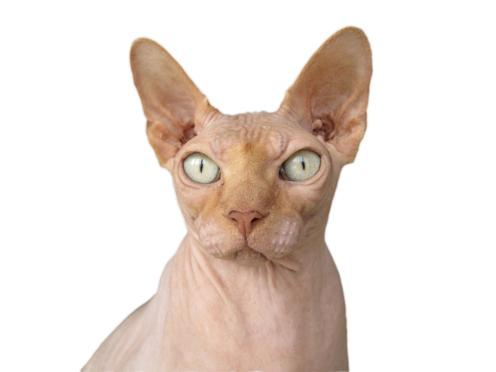 Bild Sphynx-Katze