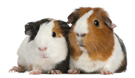 Bild von zwei Meerschweinchen