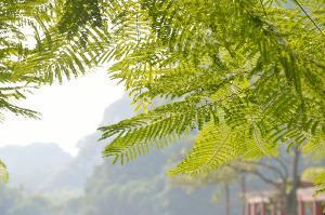 Bild Honigsorten Akazienbaum