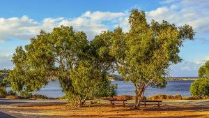 Bild Honigsorten Eukalyptusbaum