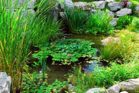 Bild Fischteich mit Grünpflanzen