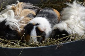 Bild Haltung des Alpakameerschweinchens