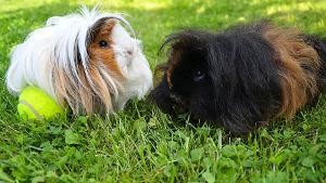 Bild Alpakameerschweinchen auf Wiese