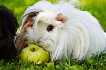 Meerschweinchen isst eien Apfel