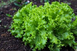 Bild Sheltie Meerschweinchen Salat