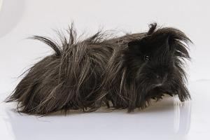 Bild Peruaner Meerschweinchen schwarz