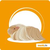 Peruaner Meerschweinchen
