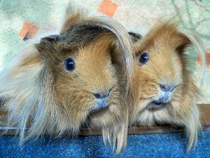 Bild zwei Peruaner Meerschweinchen