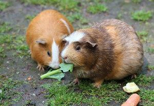 Bild Rosettenmeerschweinchen Ernährung