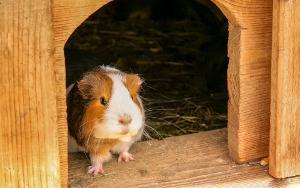 Rosettenmeerschweinchen Stall