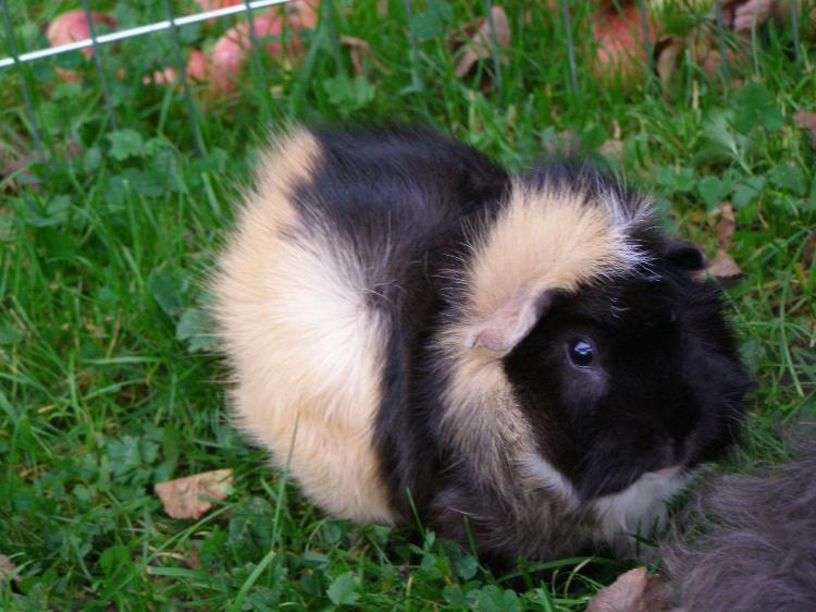 Rosettenmeerschweinchen