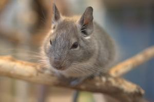 Chinchilla Bild