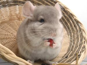 Beiges Chinchilla