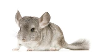 Chinchilla hellgrau